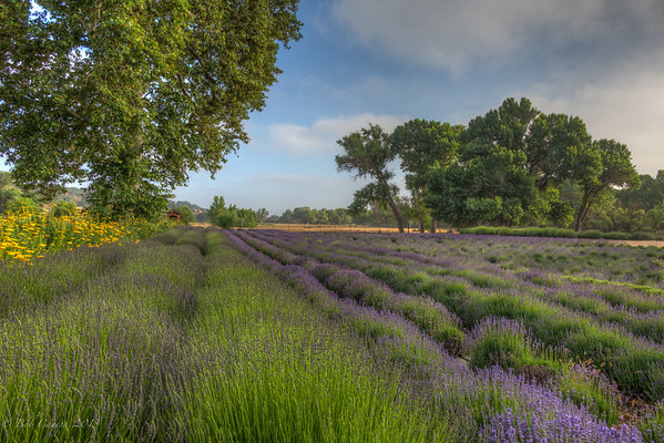 CENTRAL COAST LAVENDER FARM 2014