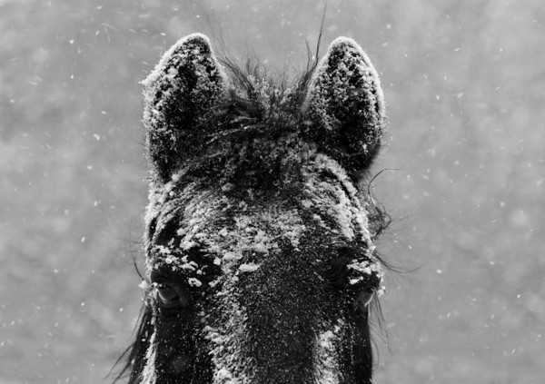 Snow storm and horses black and white.