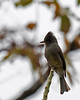 Dark Pewee, road at El Toucanet