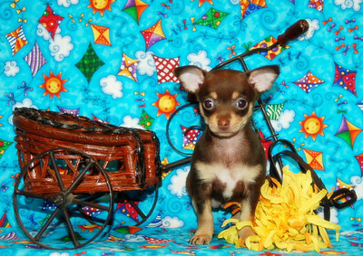 Chihuahua 2007 Adopted Puppy Photo Gallery
