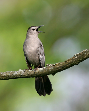 Mockingbird, Thrashers - All three species expected in Indiana have been photographed