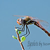 Dragonfly, Variegated Meadowhawk, Male.  My first attempts at catching these strange creatures.  It was windy and they don't sit still!  Riparian Preserve in Gilbert, AZ.