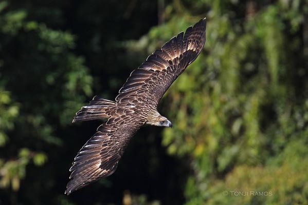 Kites, Hawks and Eagles