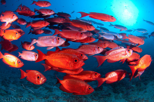School of red fish in a blue sea by Scubazoo