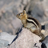 Lined ground squirrel- Crater Lake OR 8-10