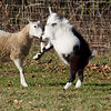 A goat and a sheep are playing.