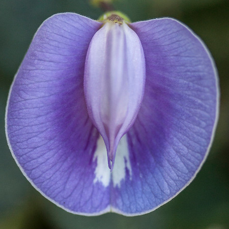 Centrosema virginiana (spurred butterfly-pea) (NCBG 2014 seed list)
