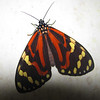 2014- heliconian butterfly moth mimic2- Turrialba- Dec 27 2013