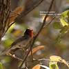 Red-faced warbler_SE Ariz 4-06_labelled