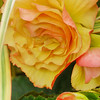 Yellow begonia...