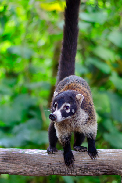 The wild Coati, native to the tropical rain forests.  The Coati is the most social member of the raccoon family. They were very friendly with the tourists at the LaPaz Waterfall Garden....but still a wild animal to me!