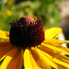 Rudbeckia in Spearfish