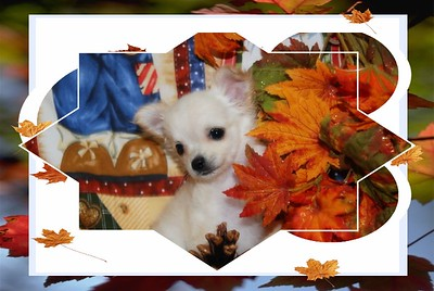 Chihuahuas featured on Commercials, Movies, T.V Shows, Pet Contest, Newspapers, & Magazines
