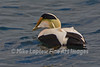 Common Eider Up from a Dive