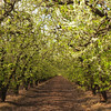 Enchanted Orchard in Spring / Tunnel of Leaves This plum / prune orchard is in full bloom. It reminds me of a childhood fairy tale. Many of Sun Sweets prunes are grown, harvested and processed here in Madera. 9/print - Orchard in Spring