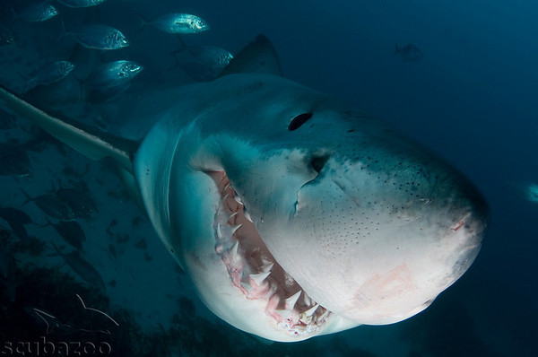 Underwater shark photos by Scubazoo