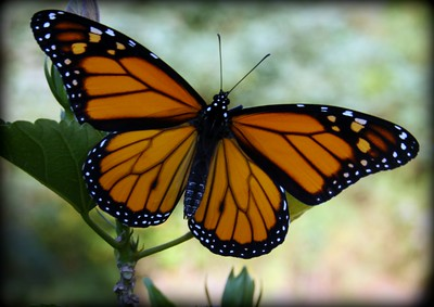 Life of the Monarch Butterfly