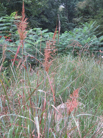 Sorghastrum nutans (yellow Indian grass) (NCBG 2014 seed list)