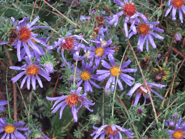 Symphyotrichum grandiflorum (large-flower American aster) (NCBG 2014 seed list)