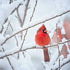 Male cardinals in the snow