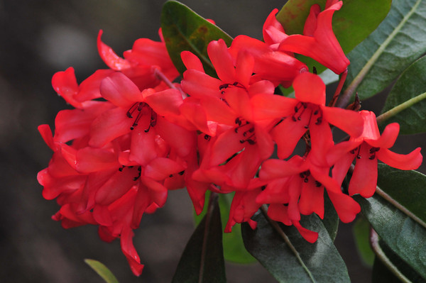 Rrr-rrr-rhododendrons