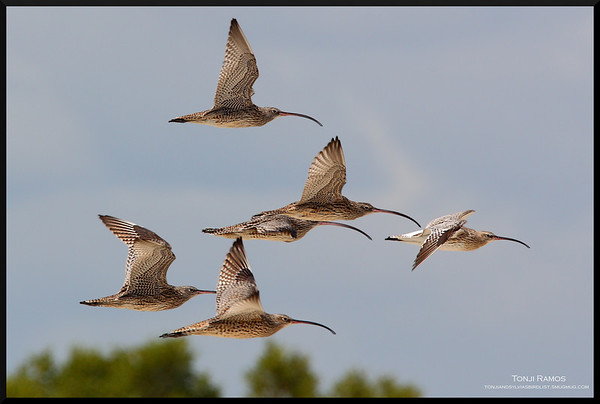 Sandpipers and Snipes
