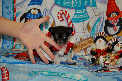 Chihuahuas Sold In 2007