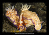nudibranch chromodoris with emperor shrimp c