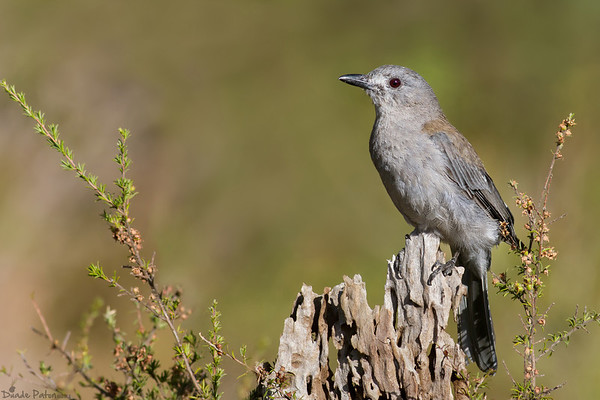 Flycatchers and Thrush-Like Birds