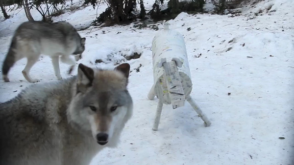 01/13 WOLVES PAPER MOOSE ENRICHMENT