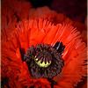 Happy Valentine's Day!  Nothing more RED than the Oriental Poppy!