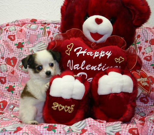 Chihuahua Terrier Puppies Photo and Video Galleries