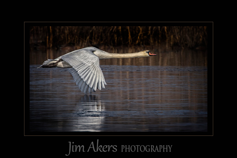 """Power Wings Skim Over the Frozen Pond"" recently was awarded a Best of Show with a score of 90. It was taken in January 2015 in Cape May, New Jersey. This distance was a good 200 feet and the temperature as around 30 degrees. I used a Canon 500 mm lens with an 1.4x extender.  A tripod and gimbal head was used to follow along as the swan cruised across the pond."