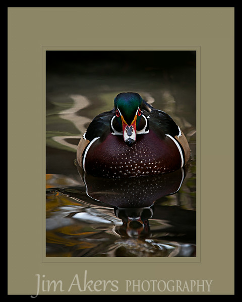 """""""Harmonious Reflection"""" Wood Duck at Franklin Cyn Park, Beverly Hills, CA"""