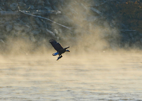 Conowingo Dam Eagles 2010