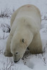 Polar Bears : Each Autumn the Polar Bears of the Hudson Bay area congregate near the shoreline of Wapusk National Park and wait for the Hudson Bay to freeze, when they will travel out onto the ice to spend the winter hunting for seals. These photos were taken in November, 2010.