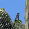 Gila woodpecker_SE Ariz 4-06_labelled