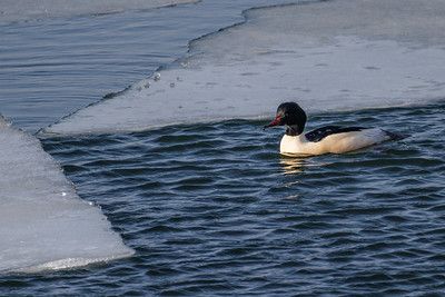 Common Merganser ~ Stor Skallesluger
