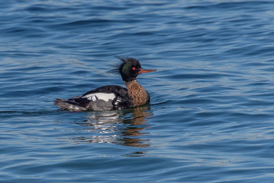 Red-breasted Merganser - Toppet Skallesluger