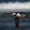 Breaking Wave Puffin