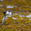 Race on Razorbill