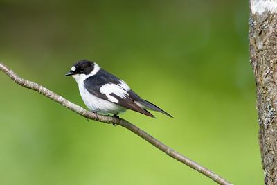 Collared flycatcher , Halsbandsflugsnappare