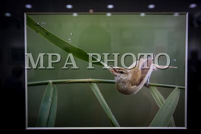 """2017 оны дөрөвдүгээр сарын 15.  Дөрөвдүгээр сарын 15-23-нд Хүннү Моллд байрлах Гамма гэрэл зургийг галерейд """"Шувууны Жаргал ба түүний нөхөд"""" үзэсгэлэн боллоо.  """"Шувууны Жаргал ба түүний нөхөд"""" үзэсгэлэнд шувуу судлаач, байгаль хамгаалагч, шувуу ажиглагч, шувууны аялал зохиогч, шувуу сонирхогч, шувууны зураг дагнан авдаг зурагчин зэрэг шувуутай холбоотой 12 зурагчны 60-аад зураг орж байна.Энэ үзэсгэлэн танин мэдэхүйн зорилготой үзэсгэлэн тул үзэгчид тухайн шувууны зан төрх, амьдрах арга, амьдралын онцлогийг харах, сонсох, мэргэжлийн хүмүүстэй хамт шувууны өдрийн аялалд явах, тэднээс туршлага судлах боломжтой байхаар зохион байгуулж байна. ГЭРЭЛ ЗУРГИЙГ Б.БЯМБА-ОЧИР/MPA"""