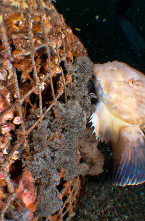 Protection of the eggs of the Snailfish