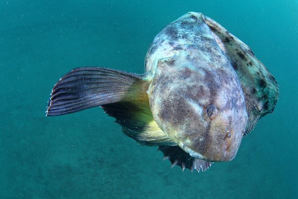 Deepsea fish: Snailfish (Liparis tanakae)