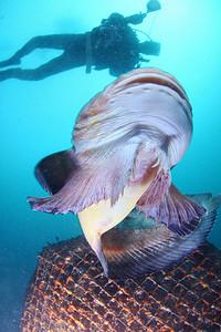 Sucker of of the Snailfish