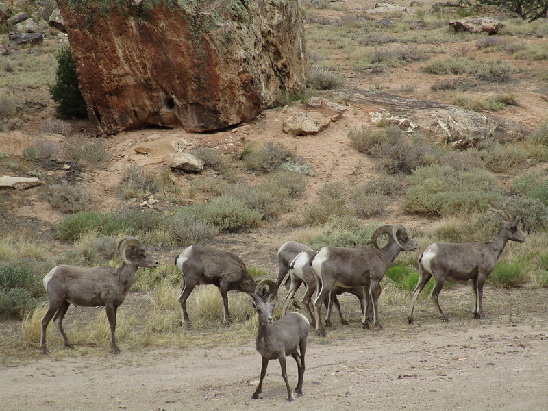 Day 4 - Saw a ton of big horn sheep along CO 145.
