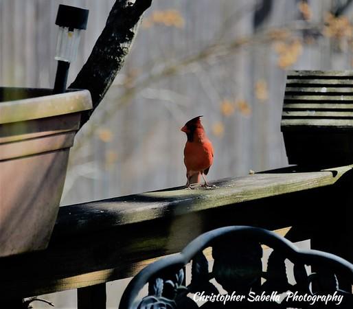 BIRDS CARDINALS