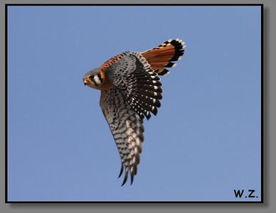 Hawks , Peregine Falcons and a few owls
