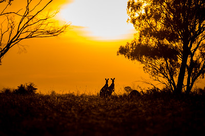 Kangaroo's just outside Dubbo, NSW, Australia.